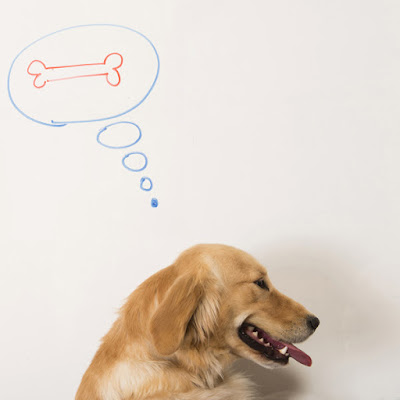 The best dog training treats for any dog and training situation, considering training, nutrition, and special diets. This Golden Retriever is thinking about a bone!
