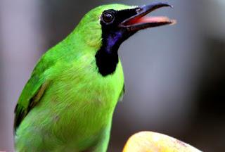Cara Menangani Burung Cucak Hijau yang Over Birahi