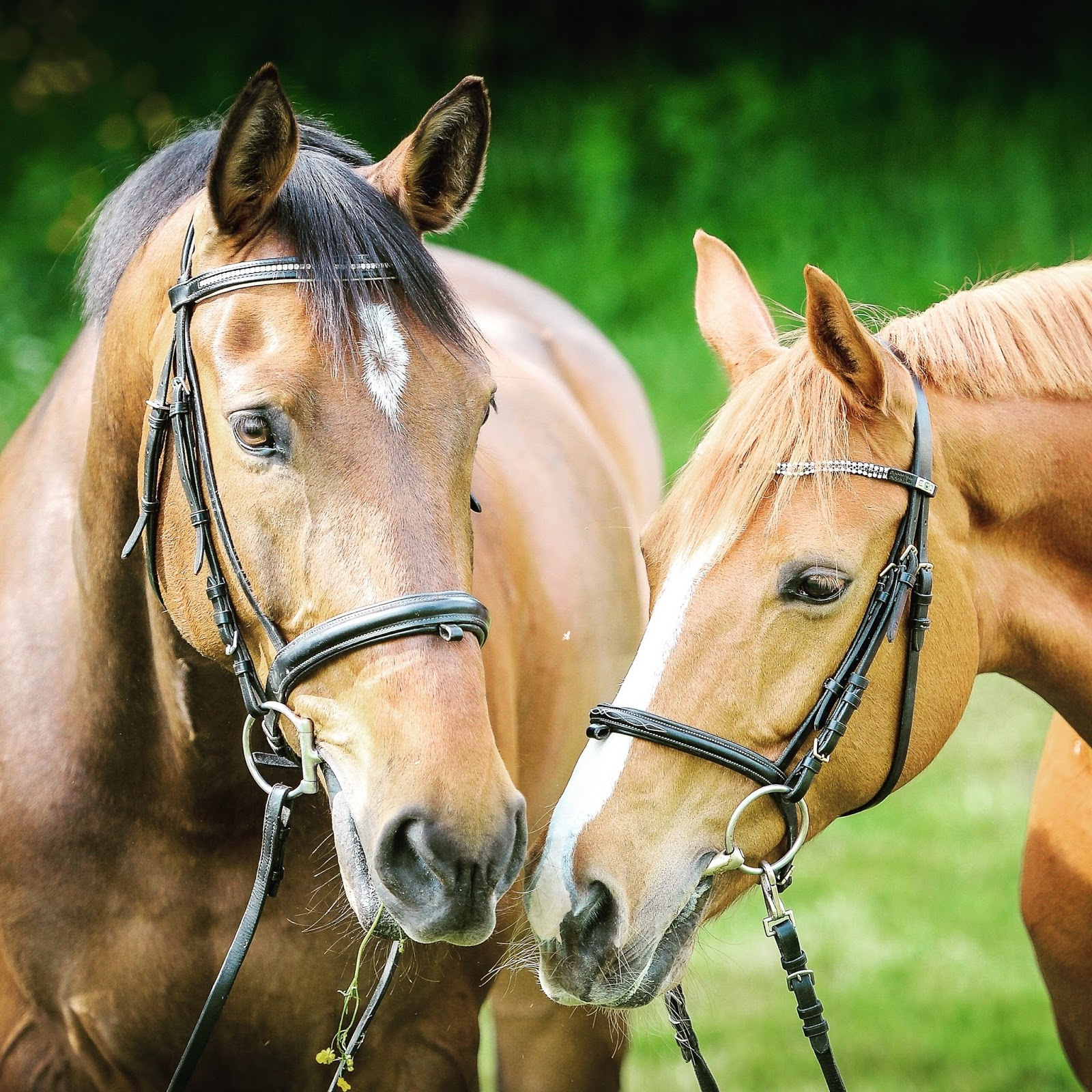 Steps For Horses : Steps to trim your horse for a show the rider s reins