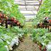 Cara Budidaya Hidroponik Strawberry Sederhana
