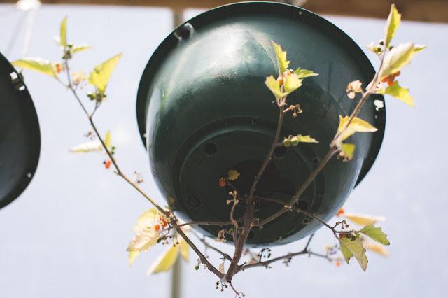 otricoli berry plant