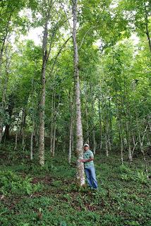 Domingo Núñez, técnico de reforestación se sorprende al  ver el desarrollo la caoba hondureña plantado en 1998; abraza el  árbol como quien quiere comprobar su existencia  en la propiedad de Esteban Jiménez, Los Rincones, cuenca alta rio Jamao. (Foto pedro Taveras)