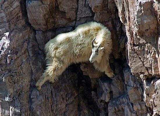 Cabra da Montanha escalando
