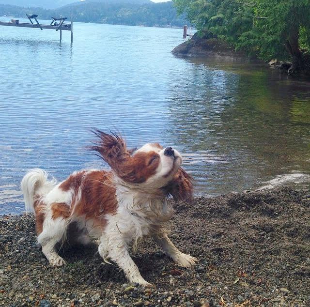 Blenheim Cavalier King Charles Spaniel shaking head at lake in Bellingham, Washington
