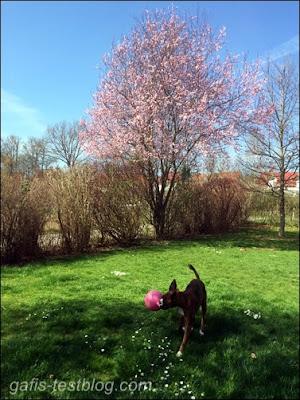 Boxer Amy im Garten mit Blutpflaume