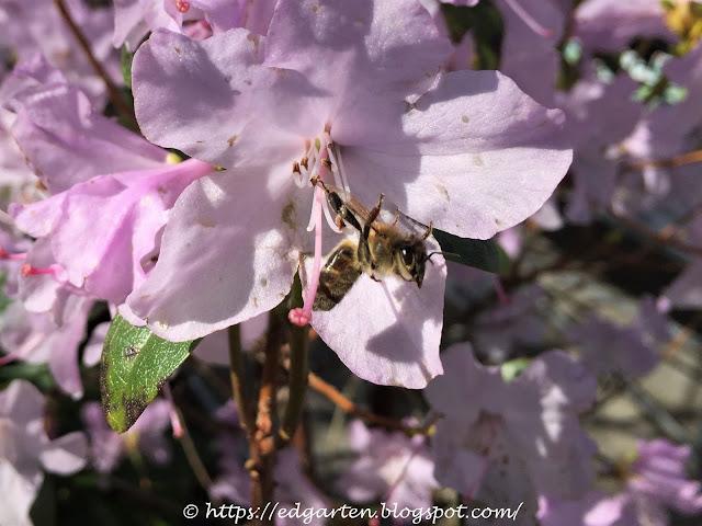 Biene auf Zierkirsche