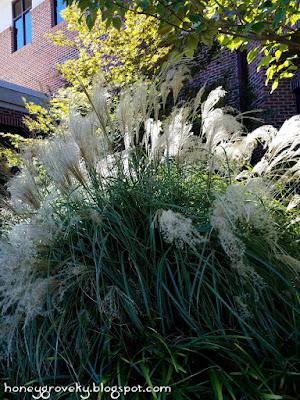 Ornamental grass in hospital landscaping