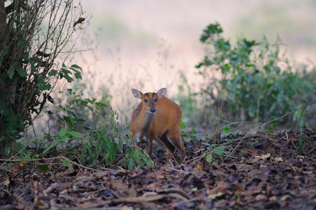 Muntjac or the Barking Deer