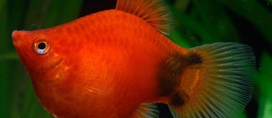 Budidaya Ikan Platy (Koral Plati) bagi Pemula untuk Usaha dan Bisnis