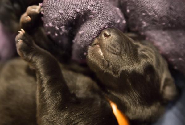 selällään nukkuva koiranpentu musta koira vastasyntynyt