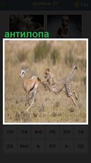 антилопа убегает от леопарда, спасая свою жизнь