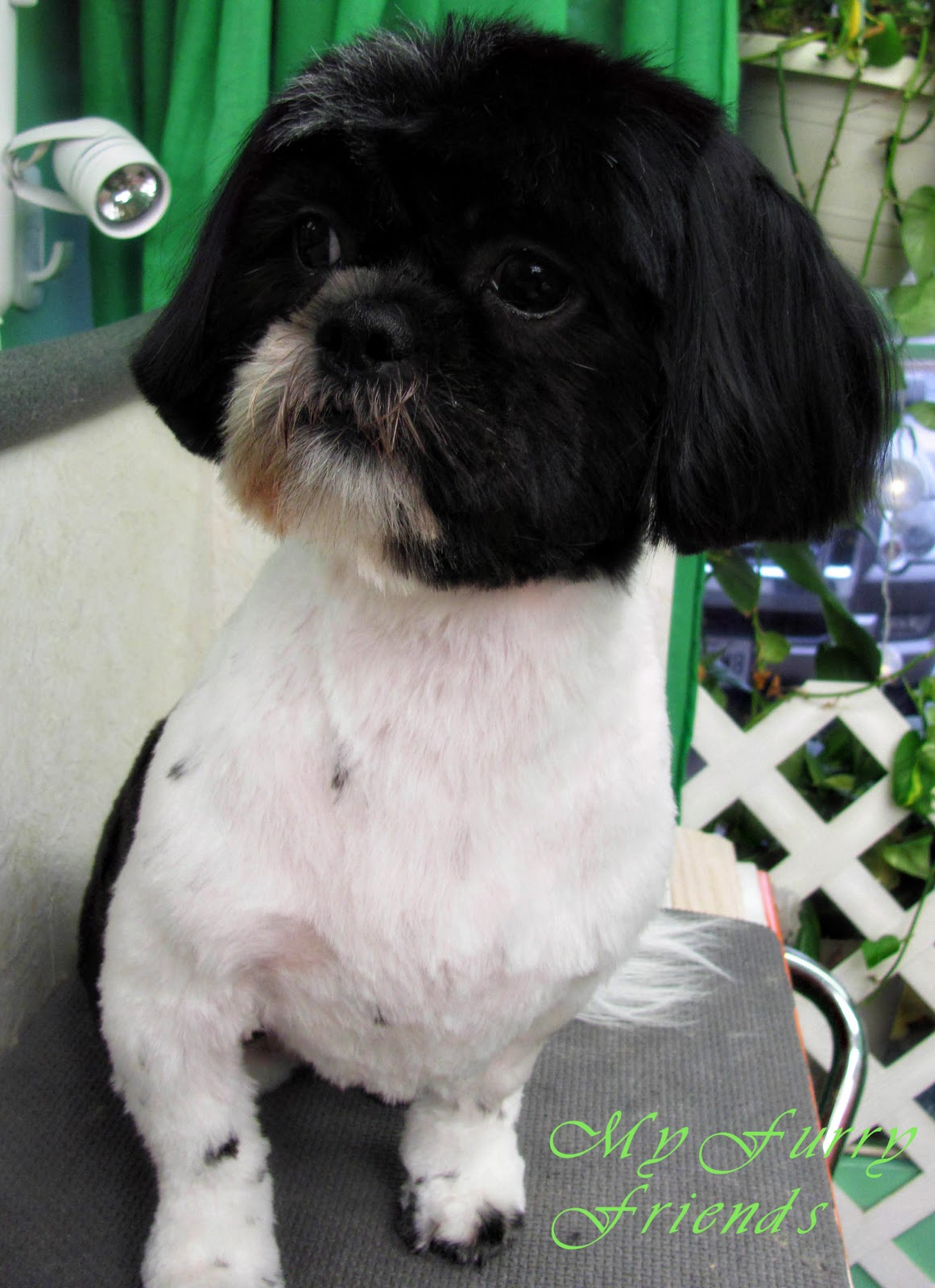 shih tzu face cut pet grooming the good the bad the furry scissoring a 9667
