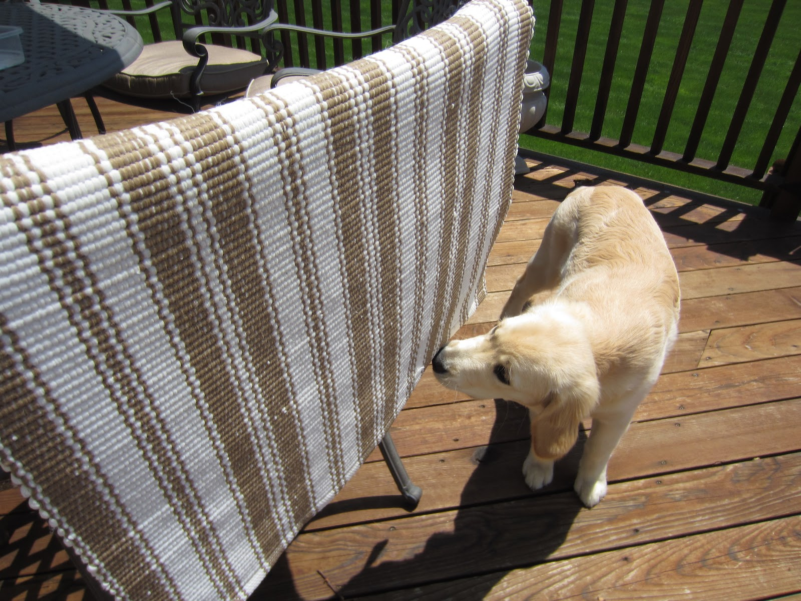 Air drying my Dash and Albert Rug - Golden Retriever approved!