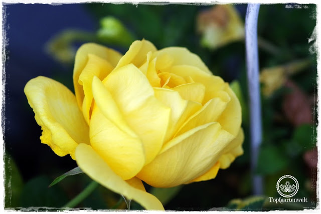 Buchvorstellung: Lieblingsrosen, finden und verlieben - die besten Rosen für den Garten im Portrait - Rose Arthur Bell in voller Blüte -Gartenblog Topfgartenwelt