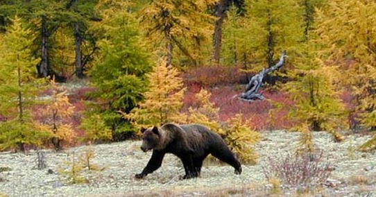 Daily 2 Cents: Siberian Brown Bear 'loaded for bear?' - Thanksgiving 'Close Encounter' -- Return of an Apex Predator