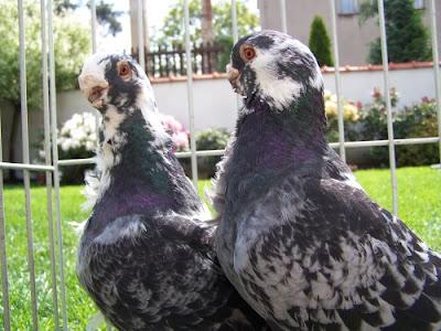 owl type pigeons