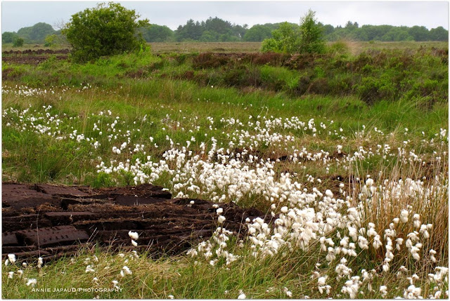 bog cotton Annie Japaud Photography 2013