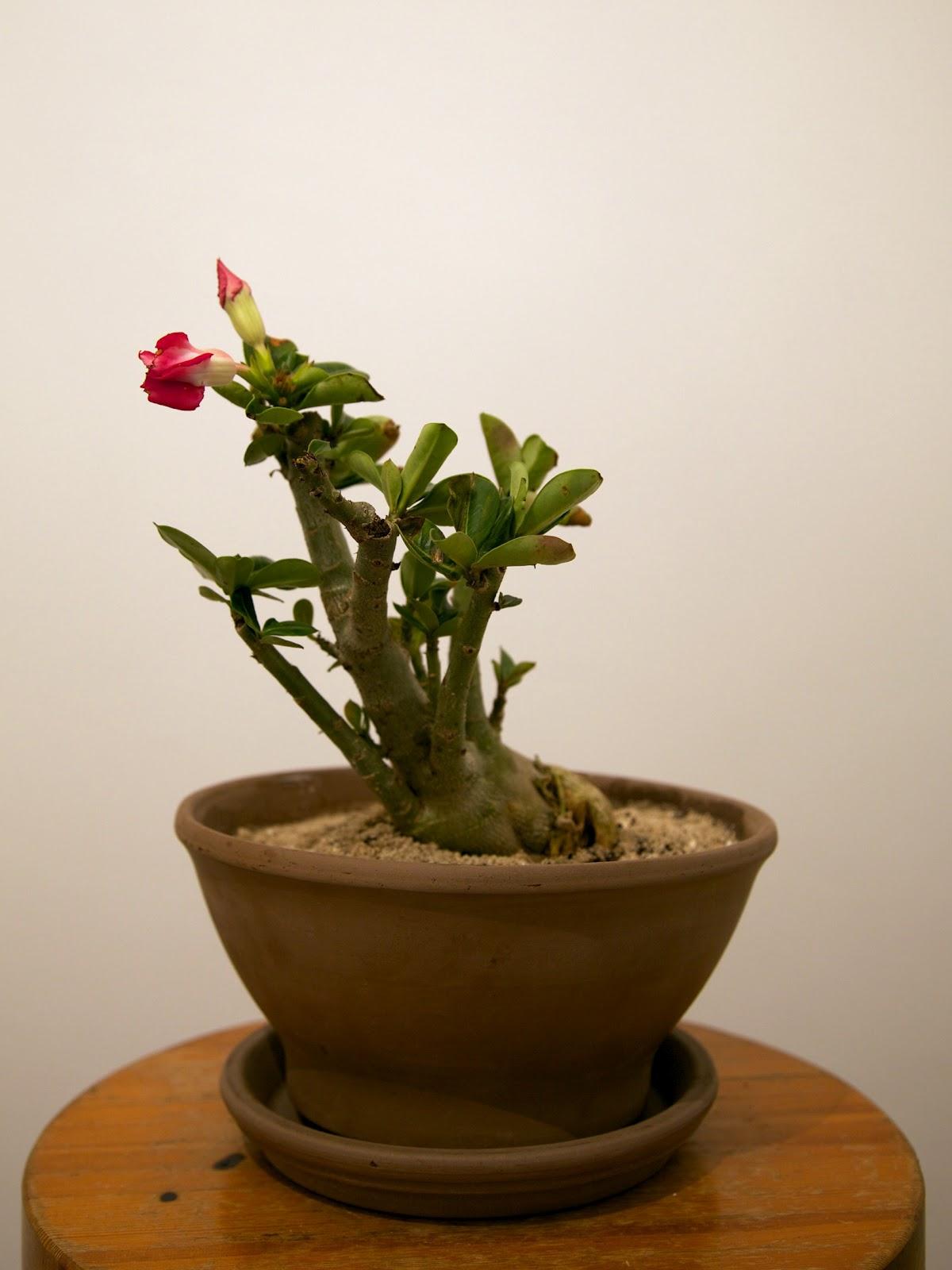 my gardening archive: desert rose