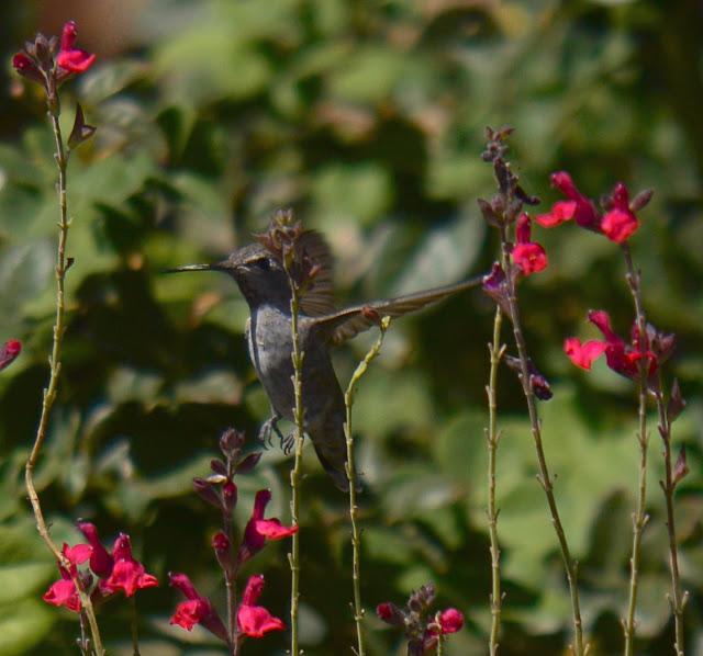 hummingbird, anna's, desert garden, small sunny garden, amy myers, photography