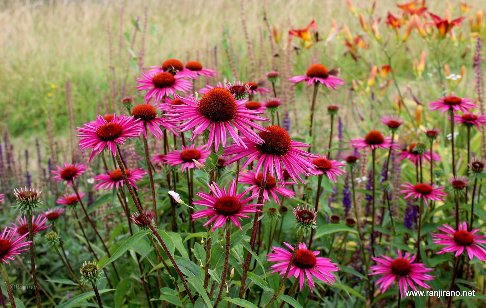 jolis asters fleurs d 39 automne paysages et fleurs au. Black Bedroom Furniture Sets. Home Design Ideas