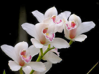 Orchid Flowers to Decrease Dental Anxiety