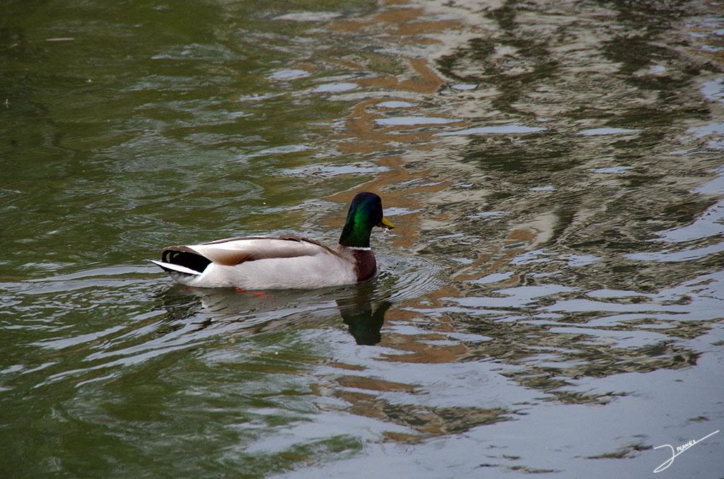 Ánado azulón macho en la aguas del río Segre