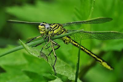 Odonata (Bangsa Capung)