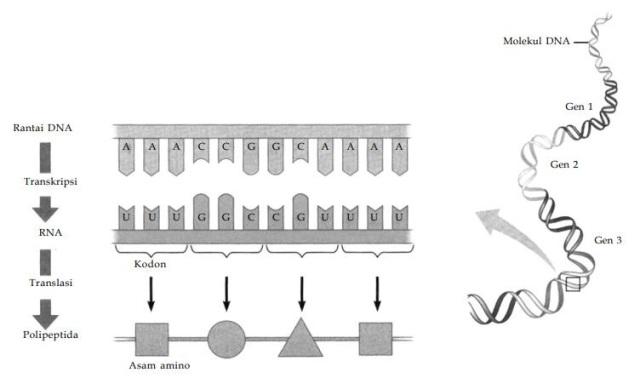 Substansi genetik pustaka belajar gambaran proses sintesis protein secara umum tahap apa saja yang terjadi dalam sintesis protein ccuart Choice Image