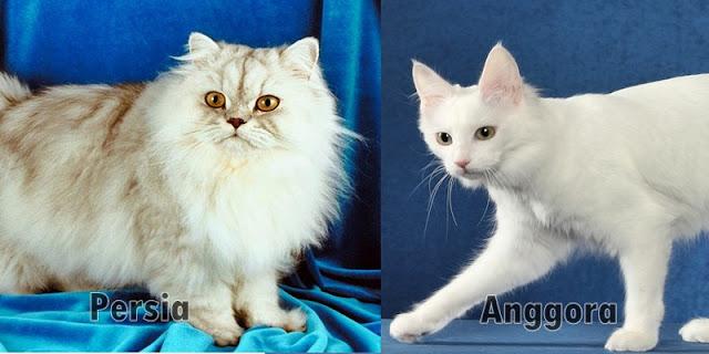 5 Perbedaan Kucing Anggora dan Kucing Persia