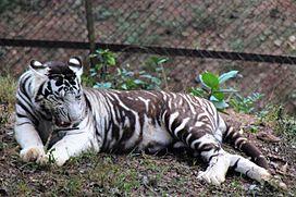 Relatos ao longo dos tempos, dão conta da existência de supostos tigres-negros, no entanto, a comunidade científica explica que, provavelmente, trata-se de tigres-brancos, que têm as listras escuras mais espessas e tão juntas entre si, que o fundo mais claro da pelagem quase desaparece entre as mesmas.