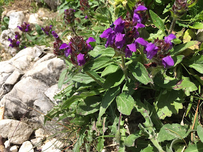 Prunella vulgaris – Common Self-Heal (Prunella commune).