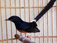 Cara Ternak Mewah Burung Murai Batu dengan Mudah