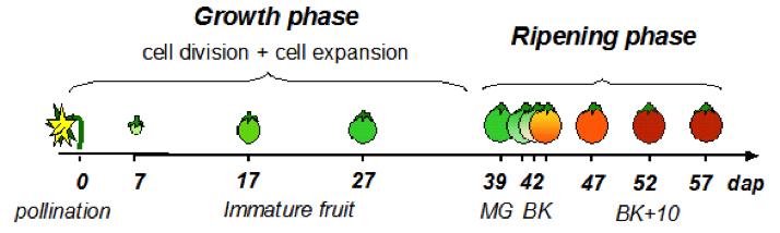 the ripening process