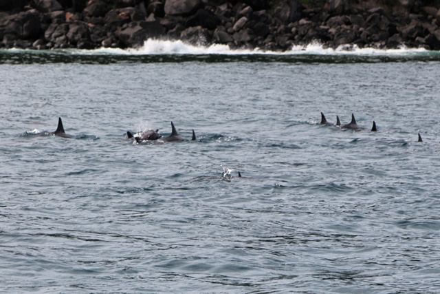 Delfines nadando en Bahia Tamarin en Isla Mauricio