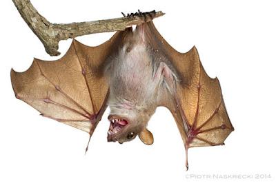 Walhlberg´s epauletted Fruit bat