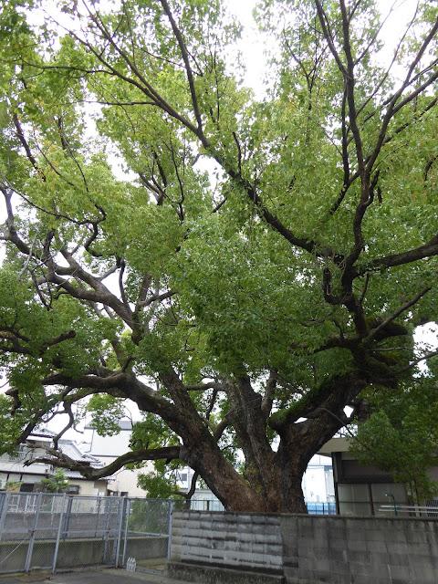 【大阪府門真市】稗島(ひえじま)のクス《府指定天然記念物》