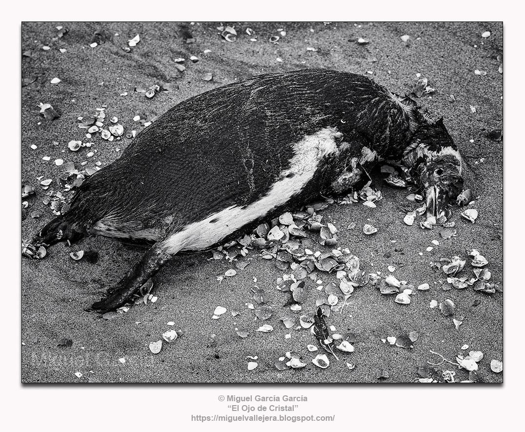 Pingüino de Humboldt (Spheniscus humboldti) muerto y rodeado de caparazones de Muy Muy.