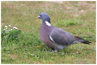 https://bioclicetphotos.blogspot.fr/search/label/Pigeon%20ramier-%20Columba%20palumbus