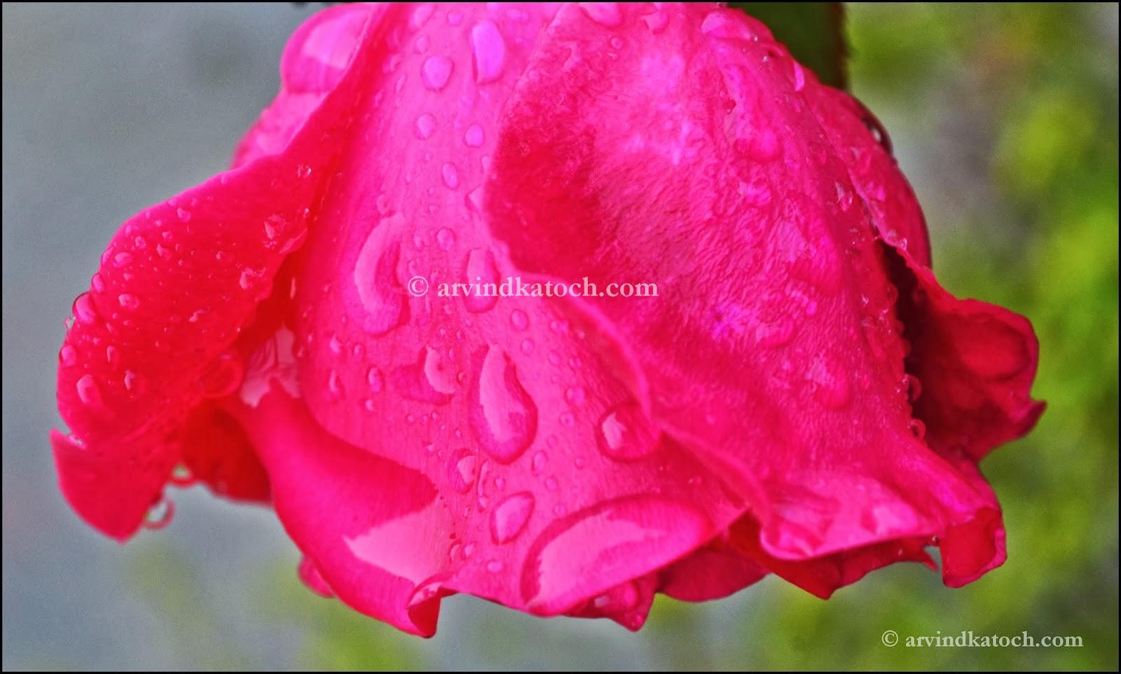 Pink Rose, wet rose,