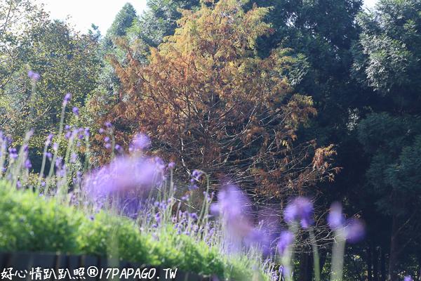 《台中.新社》薰衣草森林-浪漫紫戀薰衣草、旋轉木馬、許願樹、香草舖子、享受美好森活