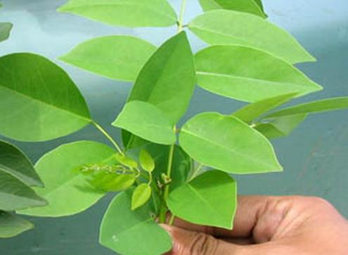 27 Manfaat daun Salam untuk kesehatan dan kecantikan