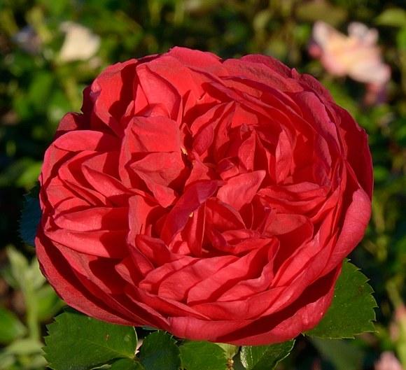 Soul сорт розы Тантау фото купить саженцы Минск