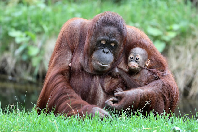 8 Native Animals of Indonesia That Need Protection