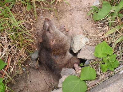 Phương pháp diệt chuột hiệu quả