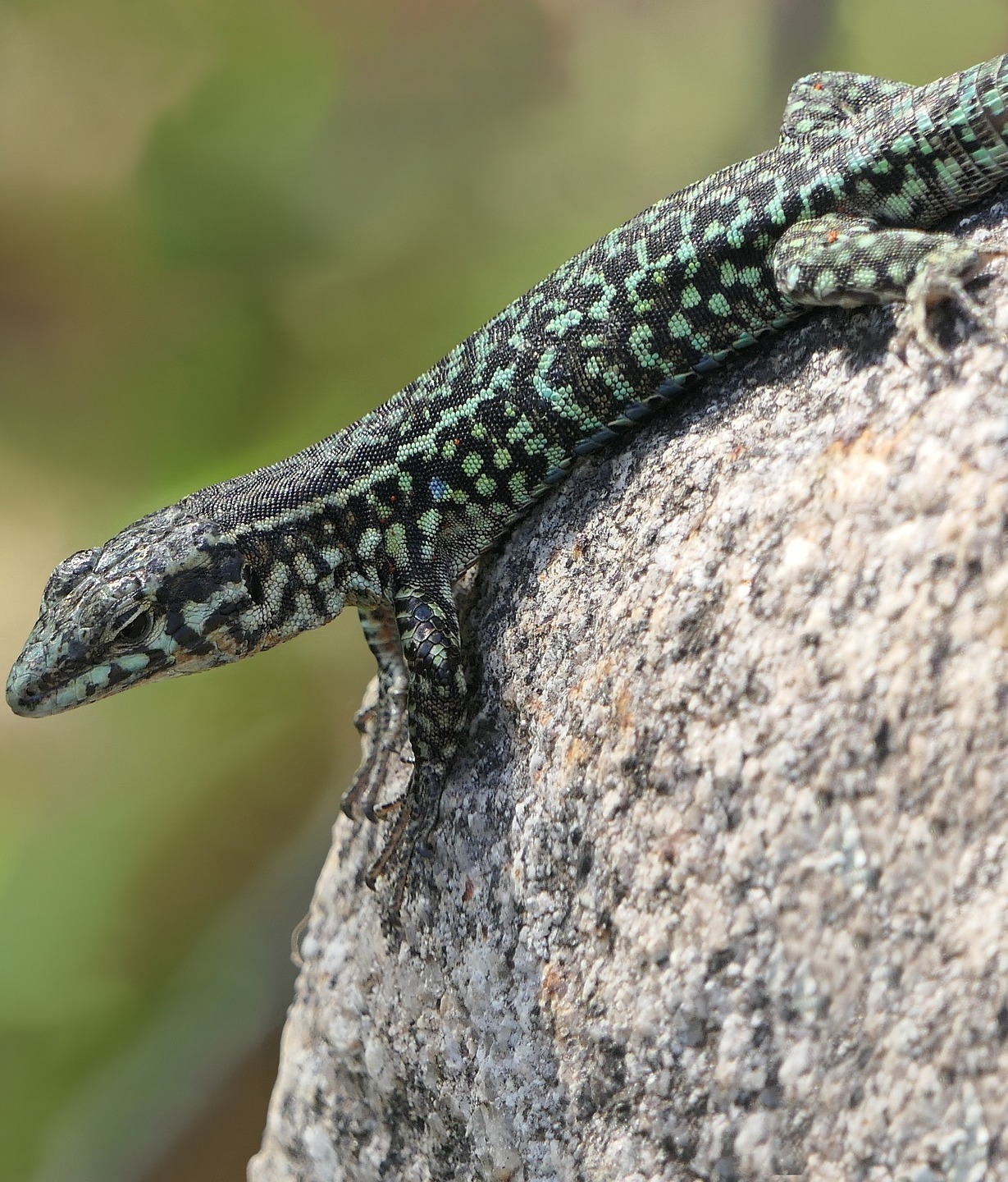 Picture of a green lizard.