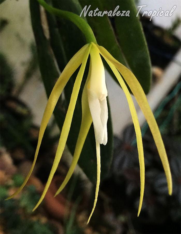 Flor de la Orquídea Dama de la Noche (Epidendrum nocturnum) cerrando por polinización prematura