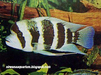 Fish Freshwater Aquarium: Frontosa, Ikan Hias Bertampang ...