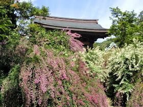 鎌倉海蔵寺のハギ