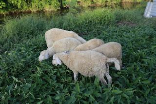 Địa chỉ bán cừu giống Ninh Thuận uy tín giá rẻ