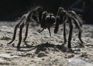 Close-up of a California Tarantula, Alma Bridge Road, Los Gatos, California